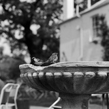 Two House Sparrows Sitting on the Edge of a Small Weathered Bird Bath Photographic Print by John Gay