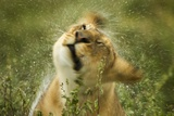 Lioness in the Rain Photographic Print