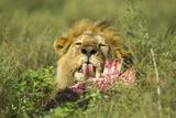 Lion Feeding on Wildebeest Photographic Print