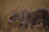 Close-Up of Stalking Leopard Photographic Print