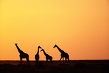 Giraffe Herd at Sunset Photographic Print