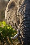 Elephant, Sabi Sabi Reserve, South Africa Photographic Print