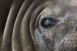 Close-Up of Elephant Seal Photographic Print