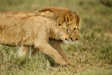 Lioness and Lion Photographic Print