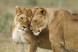 Lioness Greeting Fotografisk tryk