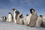 Emperor Penguins in Antarctica Photographic Print