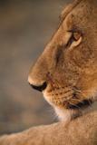 Lion Cub at Dawn, Botswana Photographic Print