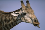 Giraffe Sticking Out Tongue Photographic Print