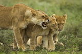 Lioness Snarling at Cubs Photographic Print