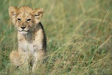 Lion Cub Sitting in Grass Photographic Print