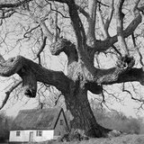 Hildersham, Cambridgeshire, the Gnarled Trunk and Branches of a Large Walnut Tree Photographic Print by John Gay