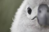 Gray-Headed Albatross Chick on South Georgia Island Photographic Print