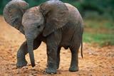Baby Elephant Walking Photographic Print