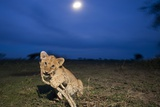 Lion Cub at Night Photographic Print