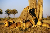 Lion Pride Resting at Acacia Tree Photographic Print
