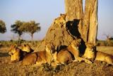 Lion Pride Resting at Acacia Tree Photographic Print