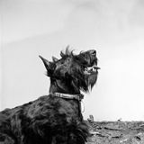 A Portrait of a Black Scottish Terrier or Scottie Dog Photographic Print by John Gay