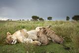 Lioness Nursing Cubs Photographic Print