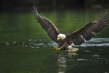 Bald Eagle, British Columbia, Canada Photographic Print