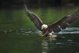 Bald Eagle, British Columbia, Canada Lámina fotográfica