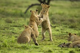 Lion Cubs Playing Photographic Print
