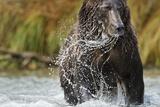 Brown Bear, Katmai National Park, Alaska Photographic Print