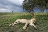 Lioness Resting on Savanna Fotografie-Druck