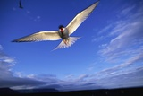 Arctic Tern in Iceland Reproduction photographique