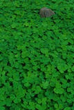 Clover Patch Photographic Print