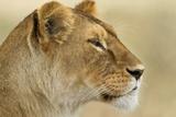 Löwin Fotodruck