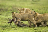Lions and Wildebeest Kill Photographic Print