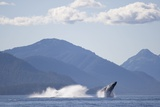 Breaching Humpback Whale in Chatham Strait Photographic Print