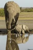 Elephant Calf Fotoprint