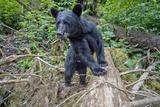 Black Bear in Rainforest in Alaska Photographic Print