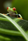 Red-Eyed Tree Frog on Leaf Photographic Print