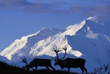 Caribou Grazing Near Wonder Lake Below Mt. Mckinley Photographic Print