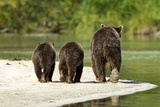 Brown Bear and Cubs, Katmai National Park, Alaska Photographic Print