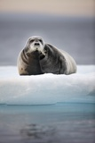 Bearded Seal, on Iceberg, Svalbard, Norway Photographic Print