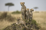 Cheetah and Cubs, Masai Mara Game Reserve, Kenya Photographic Print