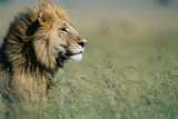 Male Lion in Tall Grass Photographic Print