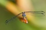 Dragonfly, Osa Peninsula, Costa Rica Photographic Print