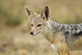 Jackal at Ngorongoro Conservation Area, Tanzania Photographic Print