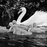 A Swan and Young Cygnets on the Water at Kew Gardens Impressão fotográfica por John Gay