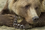 Resting Brown Bear, Katmai National Park, Alaska Fotografisk tryk