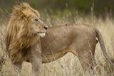 Adult Male Lion in Tall Grass in Masai Mara National Reserve Fotografie-Druck
