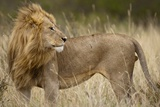 Adult Male Lion in Tall Grass in Masai Mara National Reserve Photographic Print