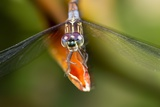 Dragonfly, Osa Peninsula, Costa Rica Photographie