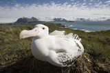 Wandering Albatross in Nest Photographic Print