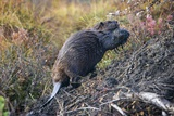 Beaver in Denali National Park Photographic Print
