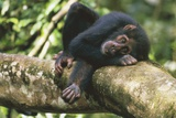 Chimpanzee Lying on Branch Photographic Print